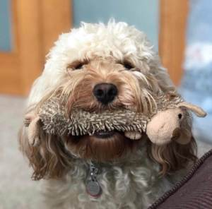Max, our cavapoo dog with toy in mouth