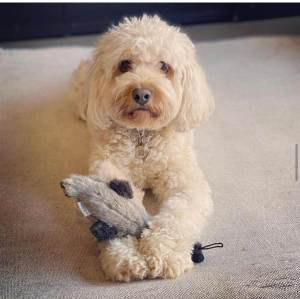 Max, our cavapoo dog holding a toy
